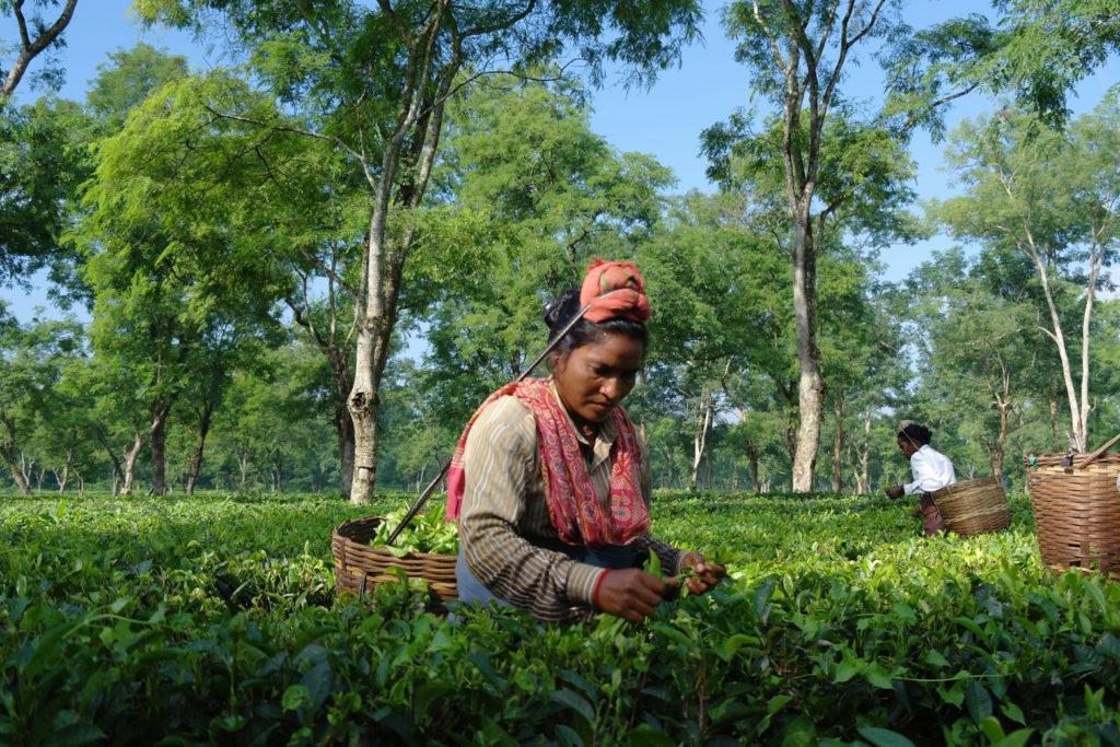Assam Blend Teeernte
