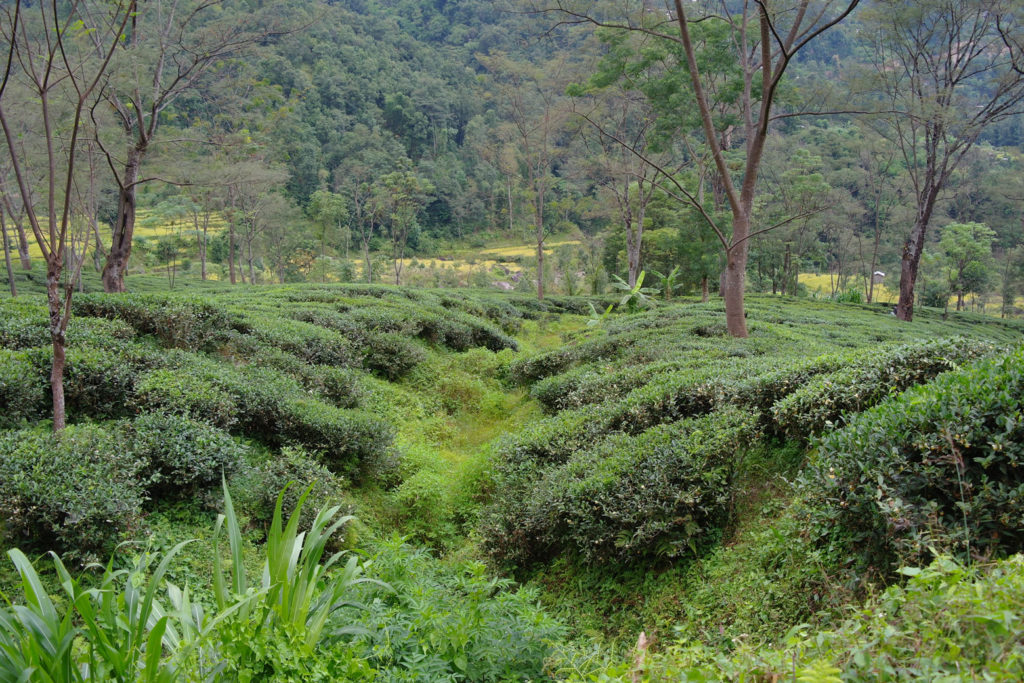 Darjeeling Grüntee Produktion