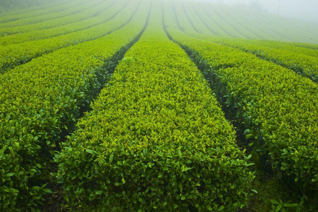 Korea Teegebiet
