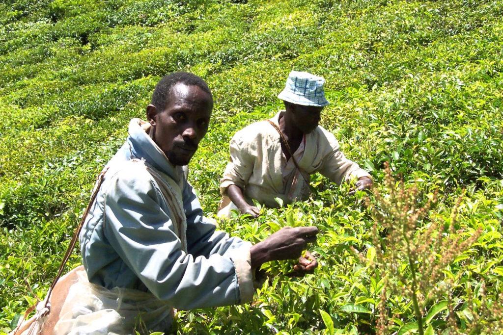 Mama Afrika Teeernte
