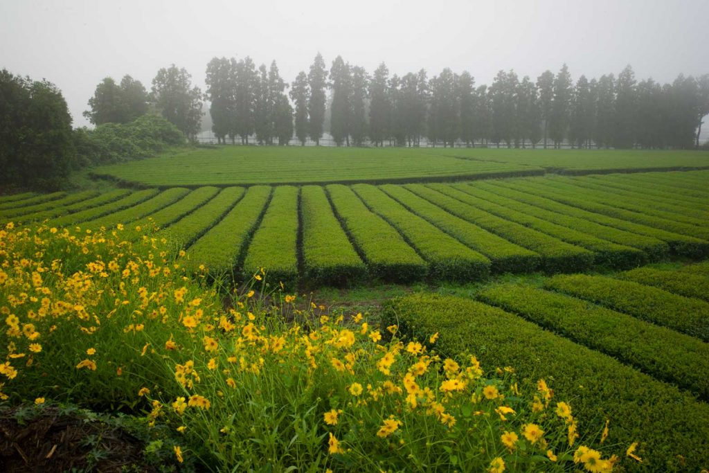 Korea Genmaicha Anbaugebiet